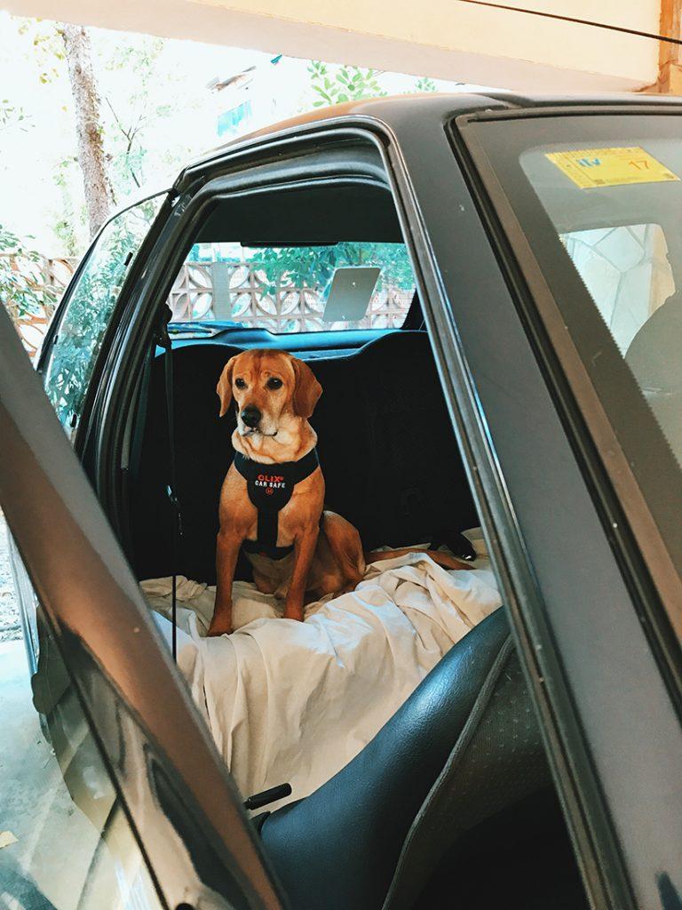 Es importante que los perros vayan asegurados con cinturones de seguridad para perros.